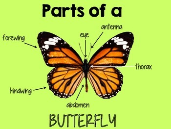 Butterfly Life Cycle and Activities