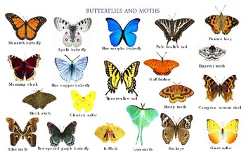 """Butterflies and Moths Poster:  """"Ledger/Tabloid"""" (11 x 17 inches)"""