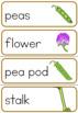 Pea life cycle word wall