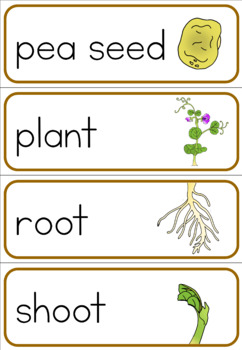 Pea life cycle word wall