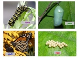 Butterfly or Moth Life Cycle Writing & Sequencing Activity