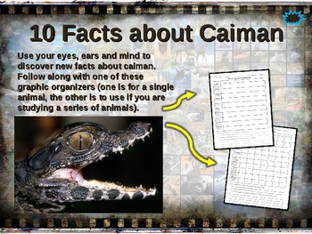 CAIMAN: 10 facts. Fun, engaging PPT (w links & free graphic organizer)