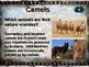 CAMELS: 10 facts. Fun, engaging PPT (w links & free graphic organizer)