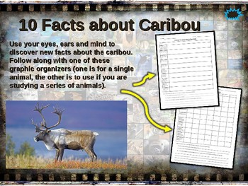 CARIBOU (REINDEER) 10 facts. Fun engaging PPT (w links & free graphic organizer)