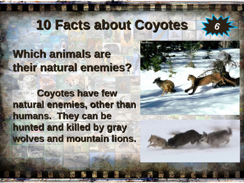COYOTES - visually engaging PPT w facts, video links, handouts & more