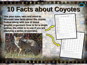COYOTES - visually engaging PPT w facts, video links, hand