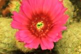 Cactus Flower Blooming Timelapse