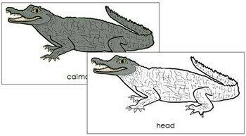 Caiman Nomenclature Cards
