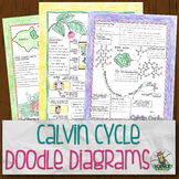Calvin Cycle and Leaf Structure Doodle Diagrams