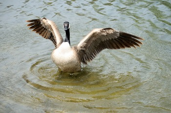 Canadian Goose Spreading Wings