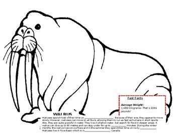 Canadian Walrus