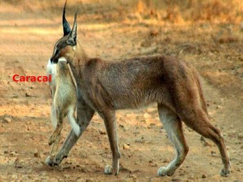 Caracal - Desert Lynx Power Point - Information Pictures History Facts