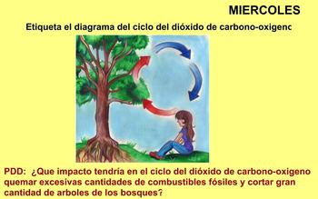 Carbon Dioxide Oxygen Cycle Review - SPANISH VERSION