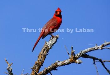 Cardinal Bird Stock Photo #82