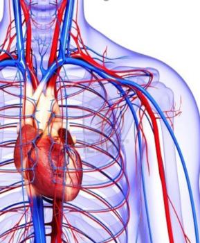 Cardiovascuar System Bundle