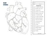 Cardiovascular & Respiratory System Coloring