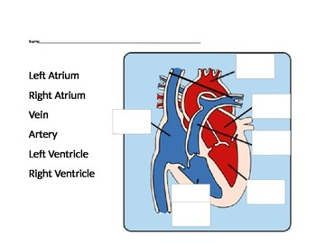 Cardiovascular System Learning Activties