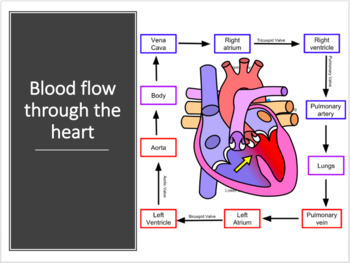 Cardiovascular System Notes PPT