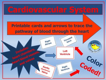 Cardiovascular System Pathway of Blood Through the Heart Cards