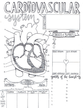 cardiovascular system sketch notes by creativity meets