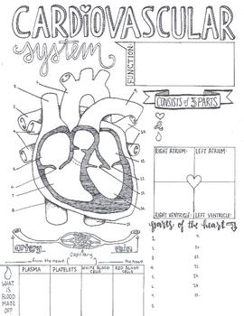 Cardiovascular System Sketch Notes