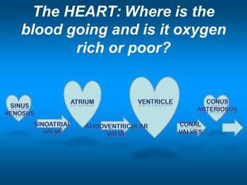 Fish Hearts: Cardiovascular Systems of Lamprey (Agnatha) & Vertebrate Fishes