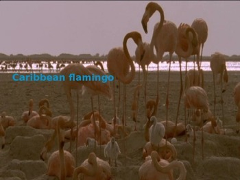 Caribbean Flamingo - Power Point - Facts