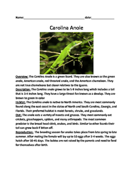 Carolina Anole Lizard - Lesson Review Article Questions Facts Vocab Word Search