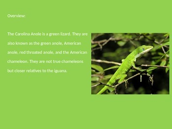Carolina Anole - Lizard - Power Point Facts Pictures Information