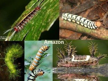 Caterpillars of the World