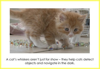 Cats Flash Cards/Posters