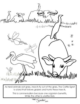 Cattle Egret And Buffalo Commensalism Coloring Sheet