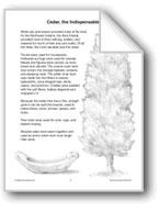 Cedar, the Indispensable