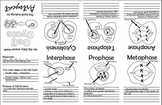 Mitosis Cell Cycle Foldable (Biology, Science)