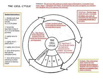 Cell Cycle Guided Notes (with key)