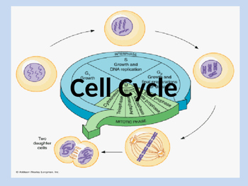 Cell Cycle- Mitosis