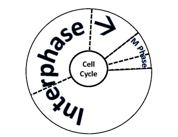 Cell Cycle & Mitosis Cut Outs-Interactive Notebook