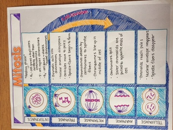 Cell Cycle: Mitosis Doodle Notes or Interactive Notebook