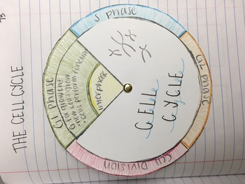Cell Cycle Wheel!!