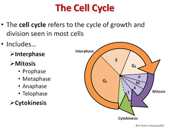 Mitosis and the cell cycle powerpoint (& free student handout) | tpt.