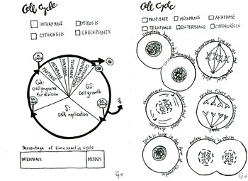 cell cycle and mitosis coloring sheet by scientifically