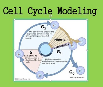 Cell Cycle/Mitosis Modeling