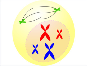 Cell Division: Mitosis Artwork and Labels Free!