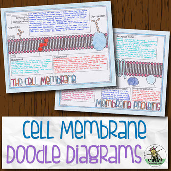 Cell Membrane Biology Doodle Diagrams By Science With Mrs Lau Tpt
