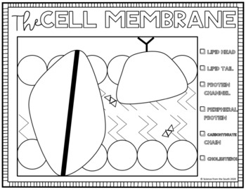 Cell Membrane Lipid Bilayer Coloring and Labeling Worksheet