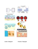 Cell Membrane Matching Game