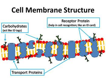 Cell Membrane Structure Clip Art