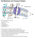 Cell Membrane Transport (Graphic) - Answer Key