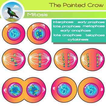 Cell Mitosis Clip Art - Cytokinesis - Cell Division  - Color + B&W