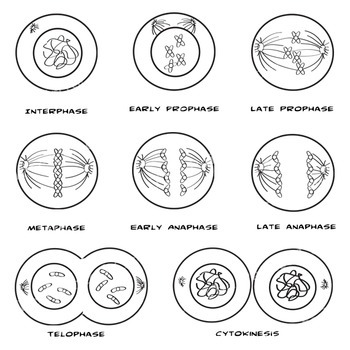 mitosis and cytokineses coloring pages - photo#1